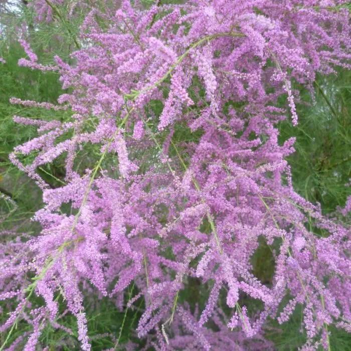Tamarix Ramosissima Pink Cascade Tamaris D Ete Rose Achat