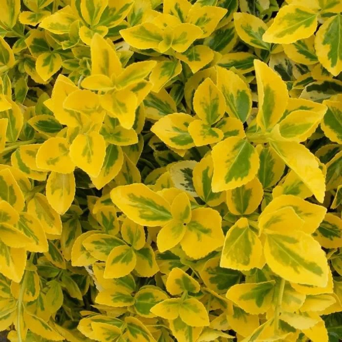 Euonymus Fortunei Emerald N Gold Fusain De For Achat Vente