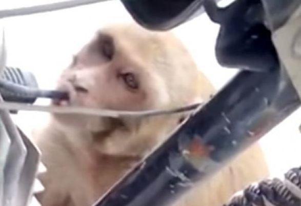 majmun-benzin-indija.jpg