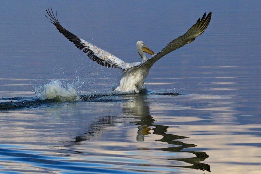 pellicano si alza in volo dall'acqua
