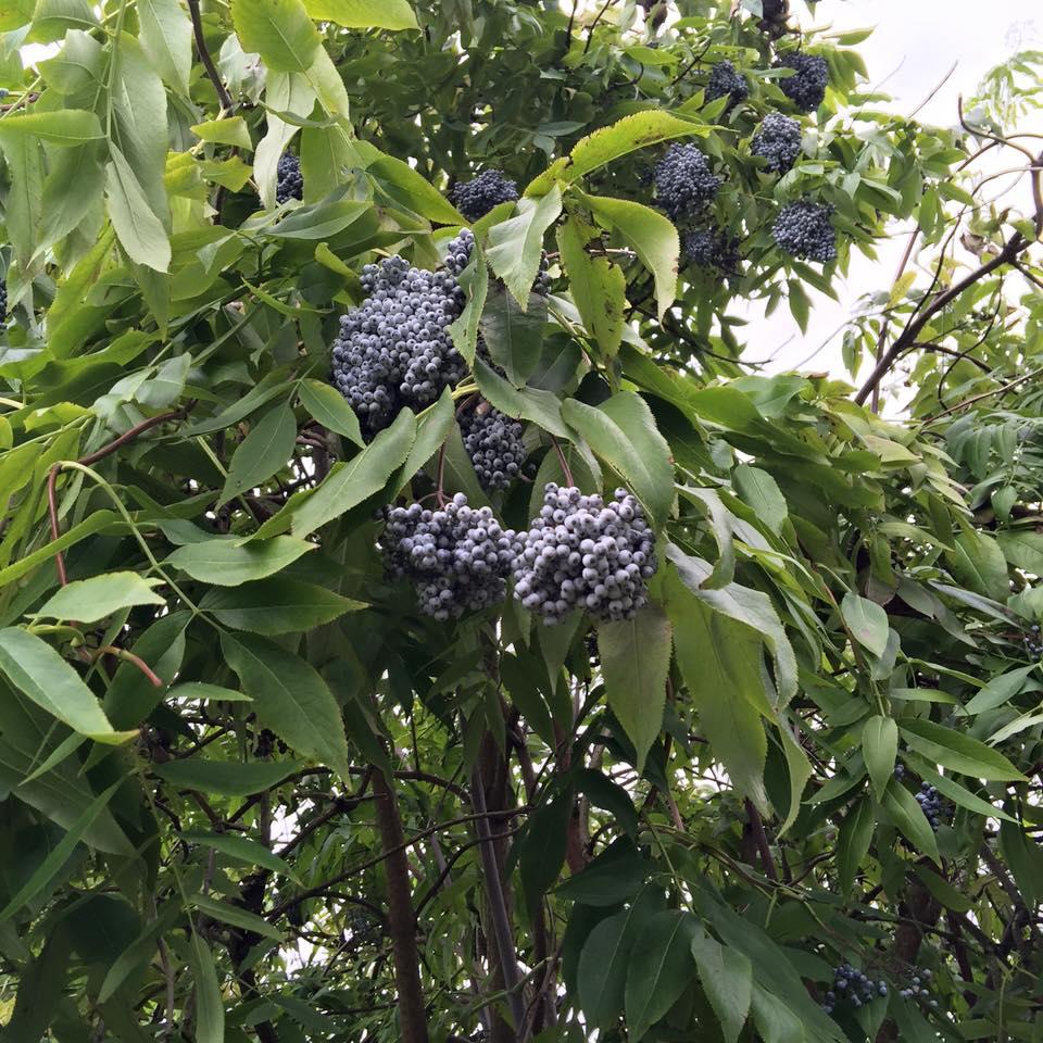 The Truth About Elderberries Cedar Mountain Herb School
