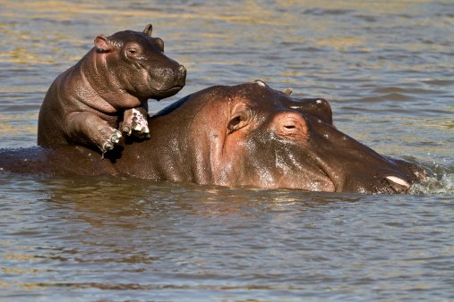 Image result for 15th February, 2018 will be... Hippo Day