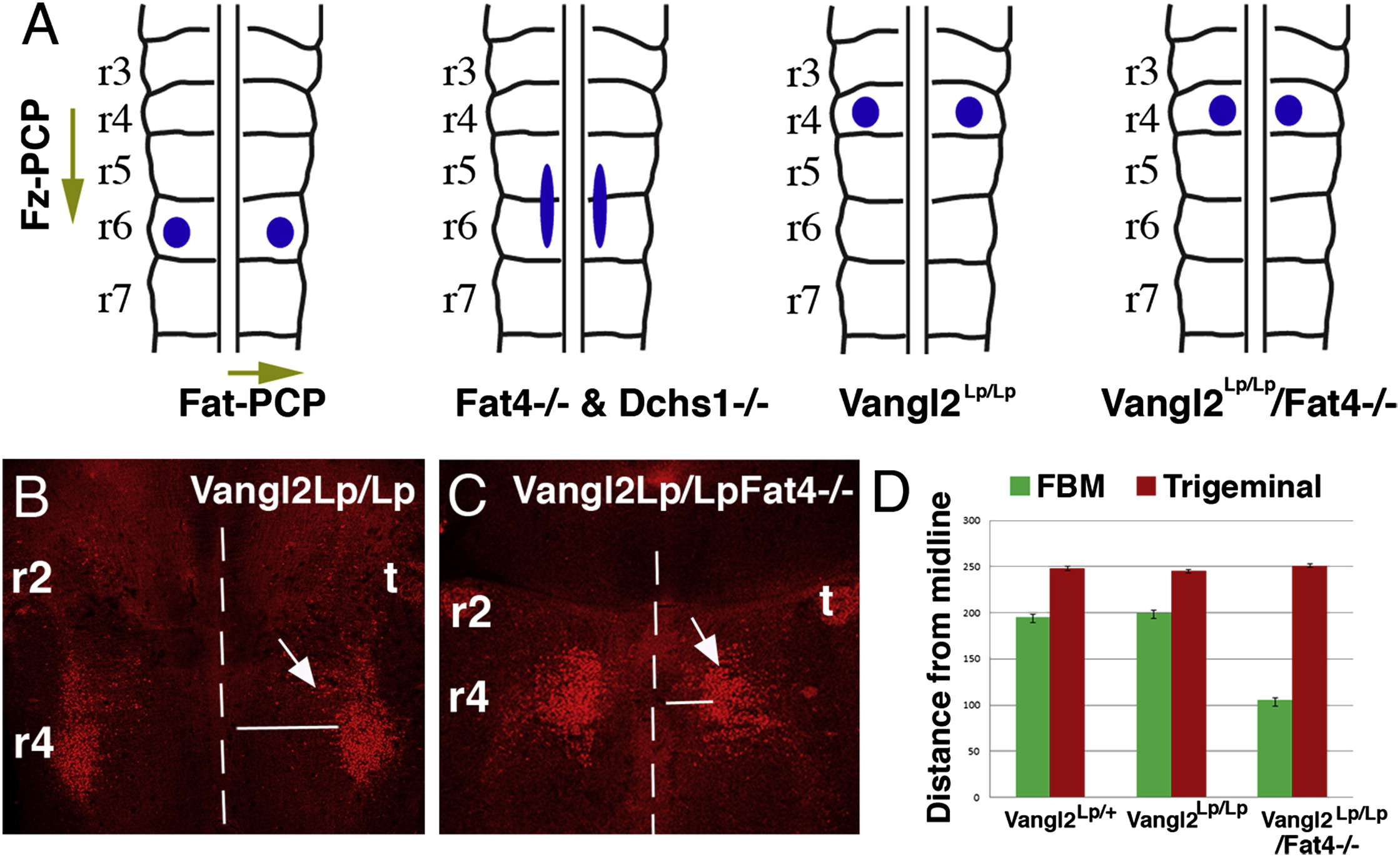 Regulation Of Neuronal Migration By Dchs1 Fat4 Planar Cell Polarity Current Biology