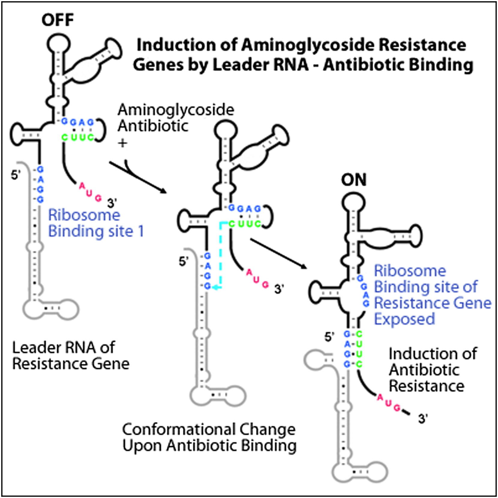 Riboswitch Control Of Aminoglycoside Antibiotic Resistance Cell