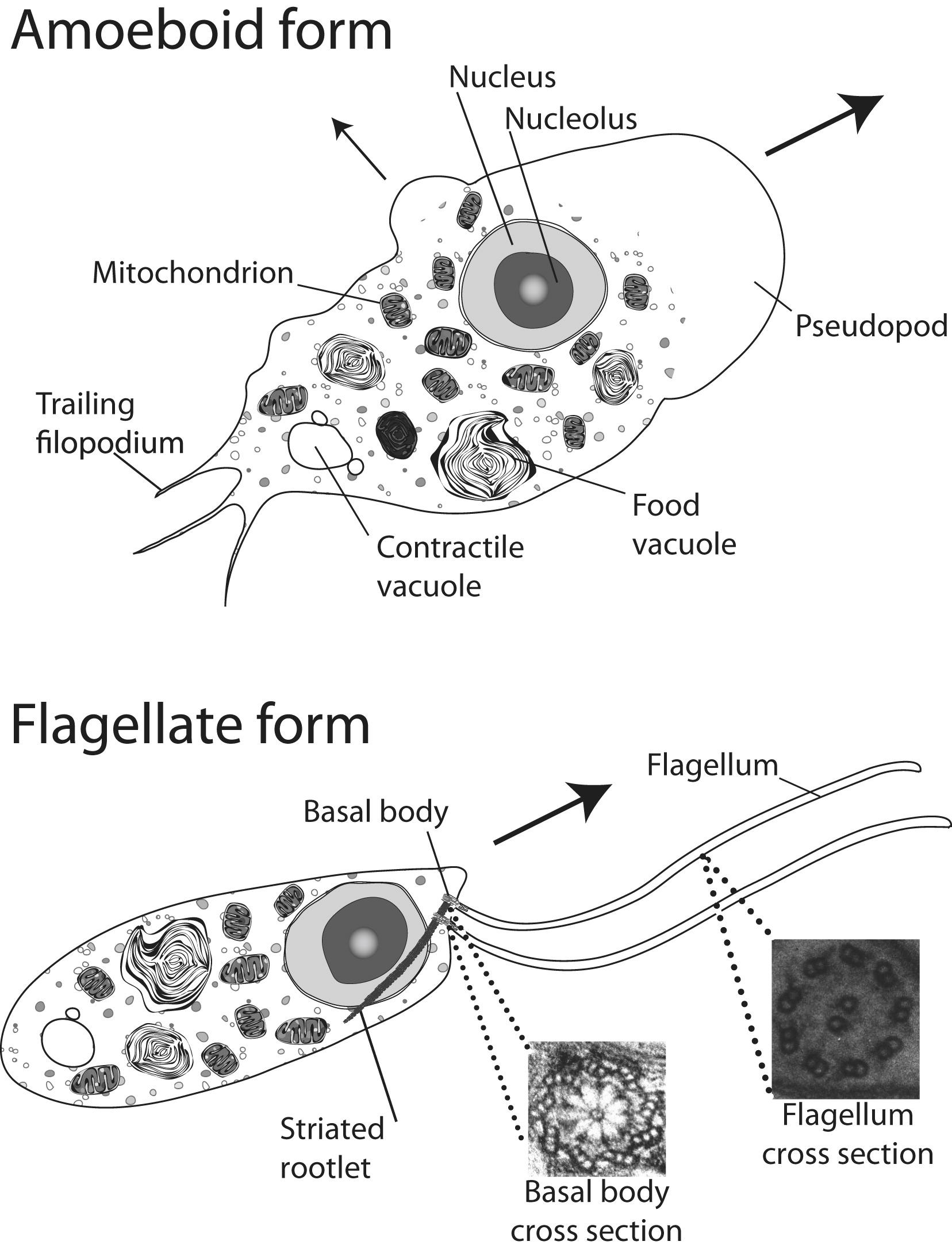The Genome Of Naegleria Gruberi Illuminates Early
