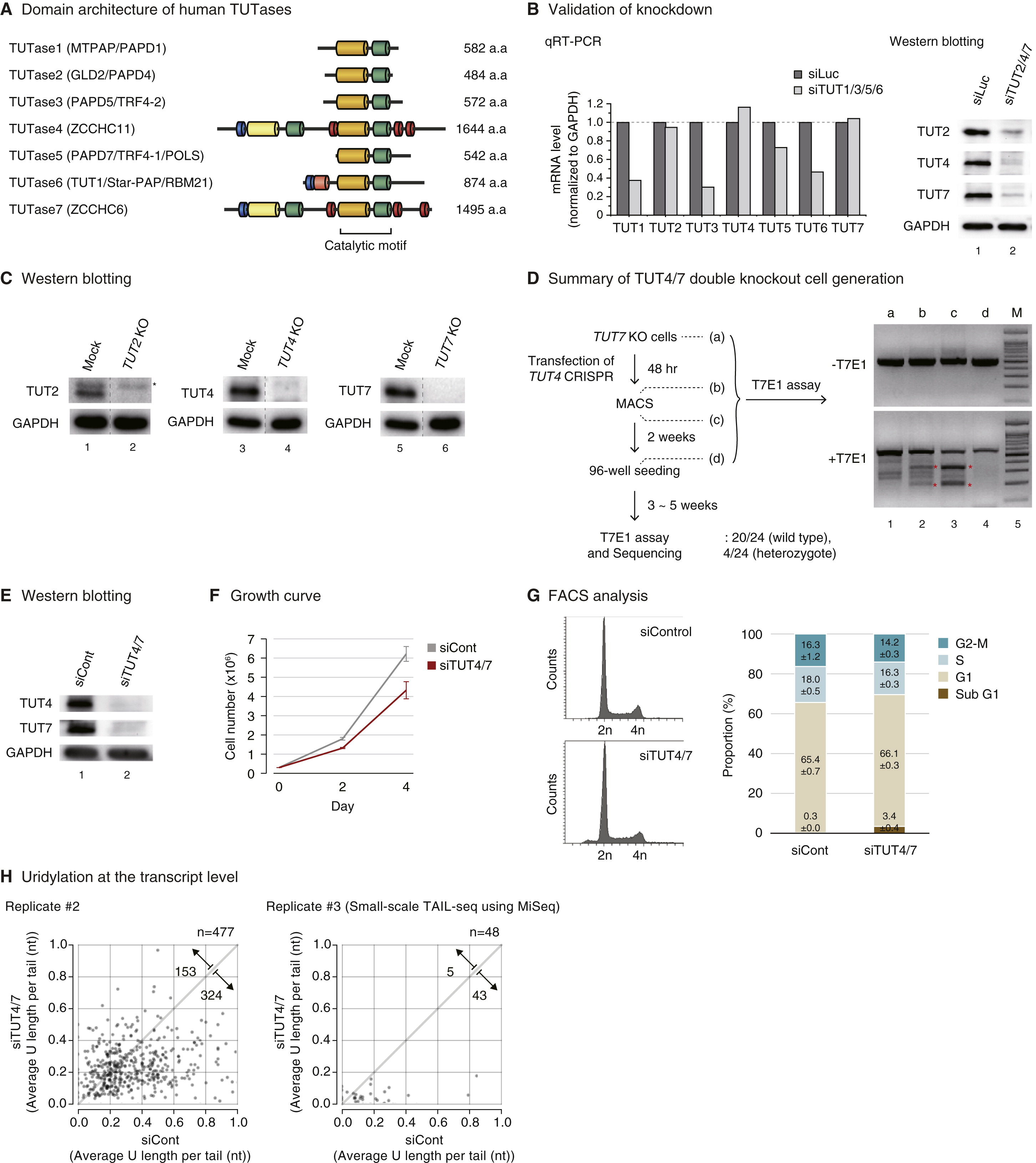 Uridylation By Tut4 And Tut7 Marks Mrna For Degradation Cell