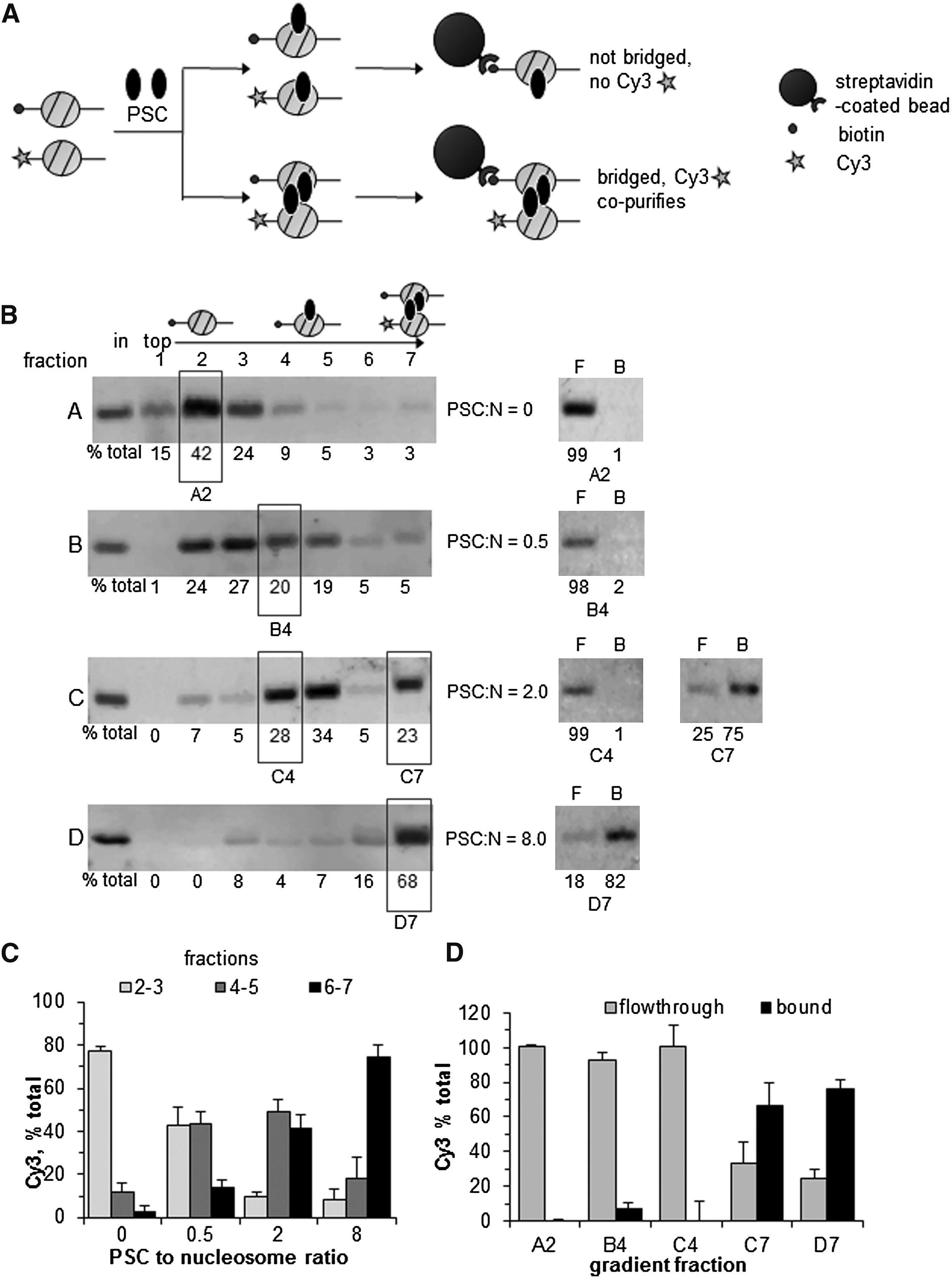 A Bridging Model For Persistence Of A Polycomb Group Protein Complex Through Dna Replication In