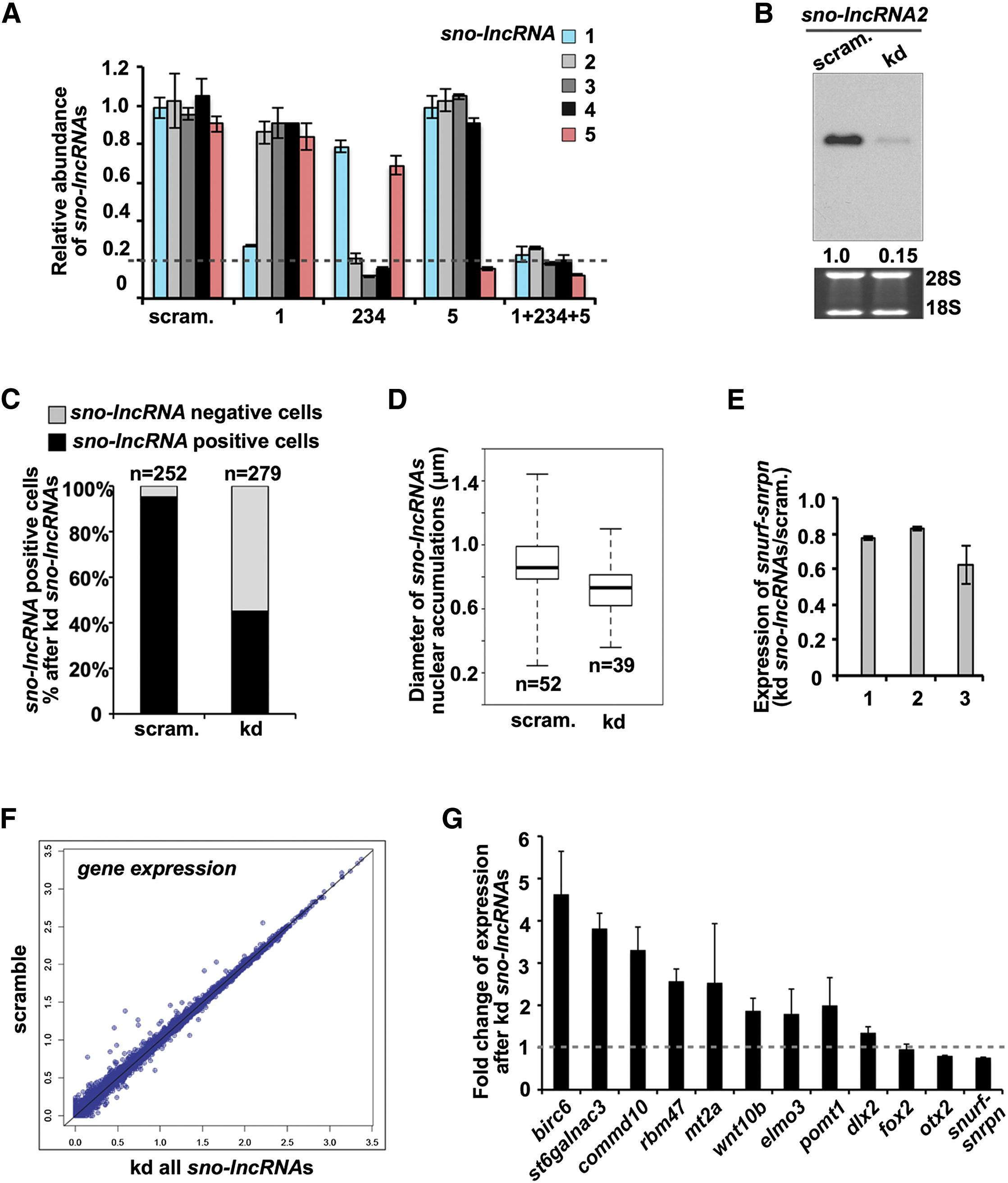 Long Noncoding Rnas With Snorna Ends Molecular Cell