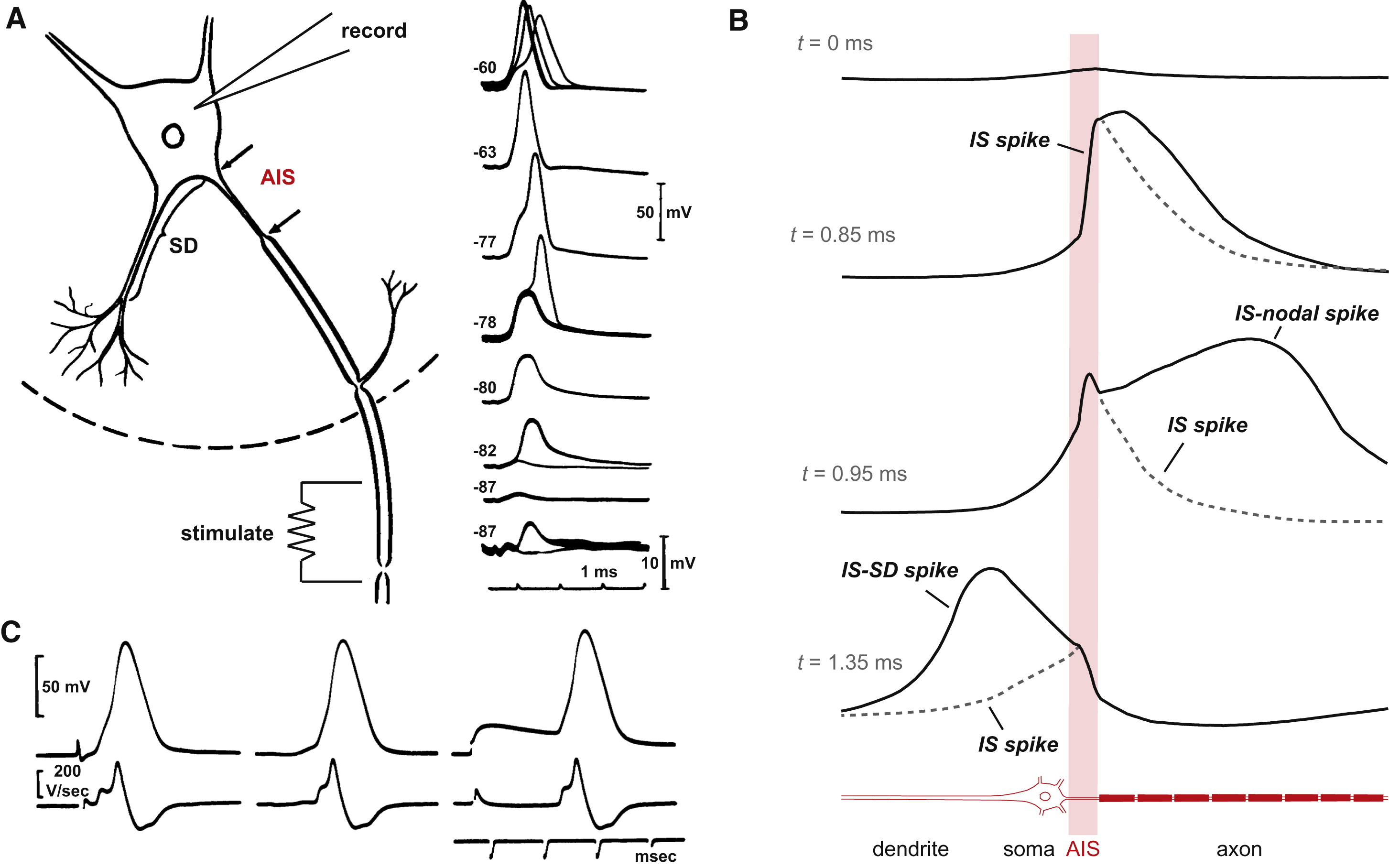 Signal Processing In The Axon Initial Segment Neuron