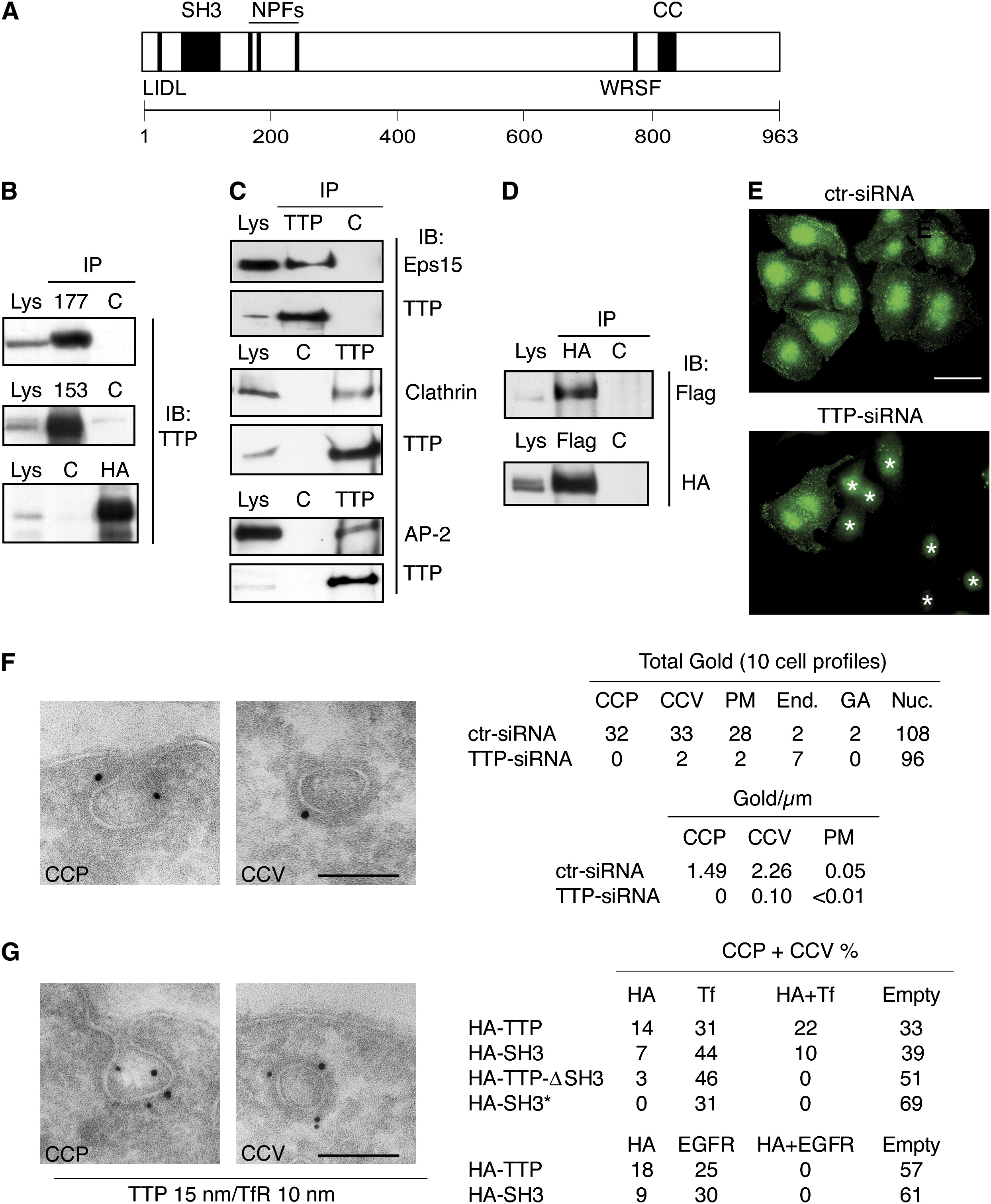 Ttp Specifically Regulates The Internalization Of The Transferrin Receptor Cell