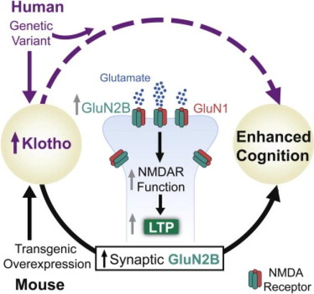 Image result for klotho