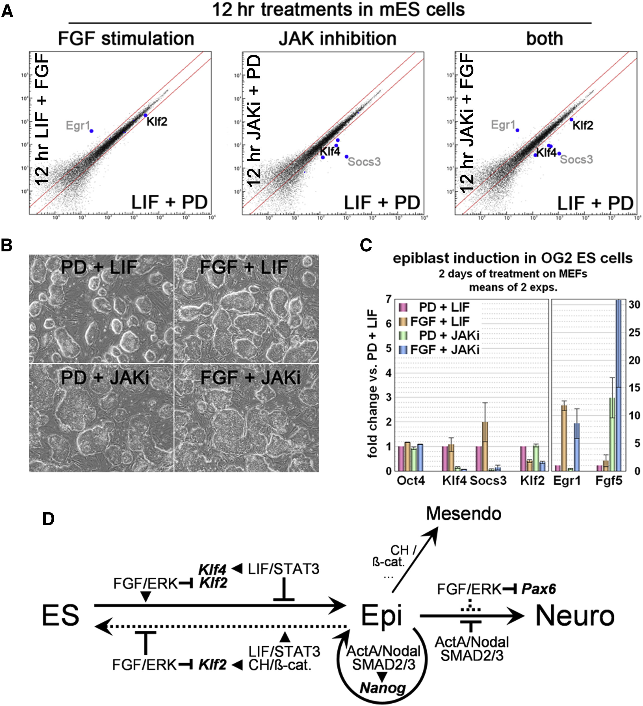 Conserved And Divergent Roles Of Fgf Signaling In Mouse Epiblast Stem Cells And Human Embryonic