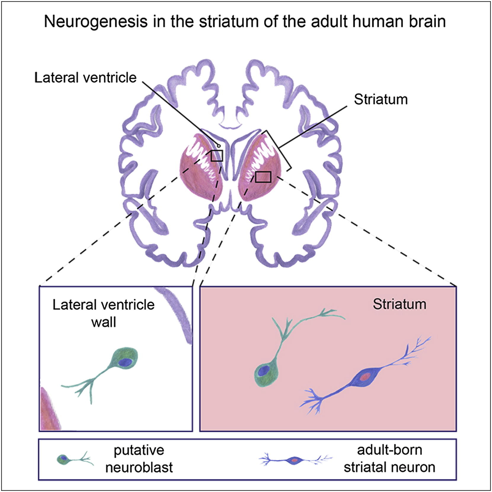Neurogenesis In The Striatum Of The Adult Human Brain Cell