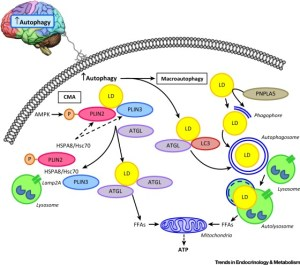 Regulation and Functions of Autophagic Lipolysis: Trends in Endocrinology & Metabolism