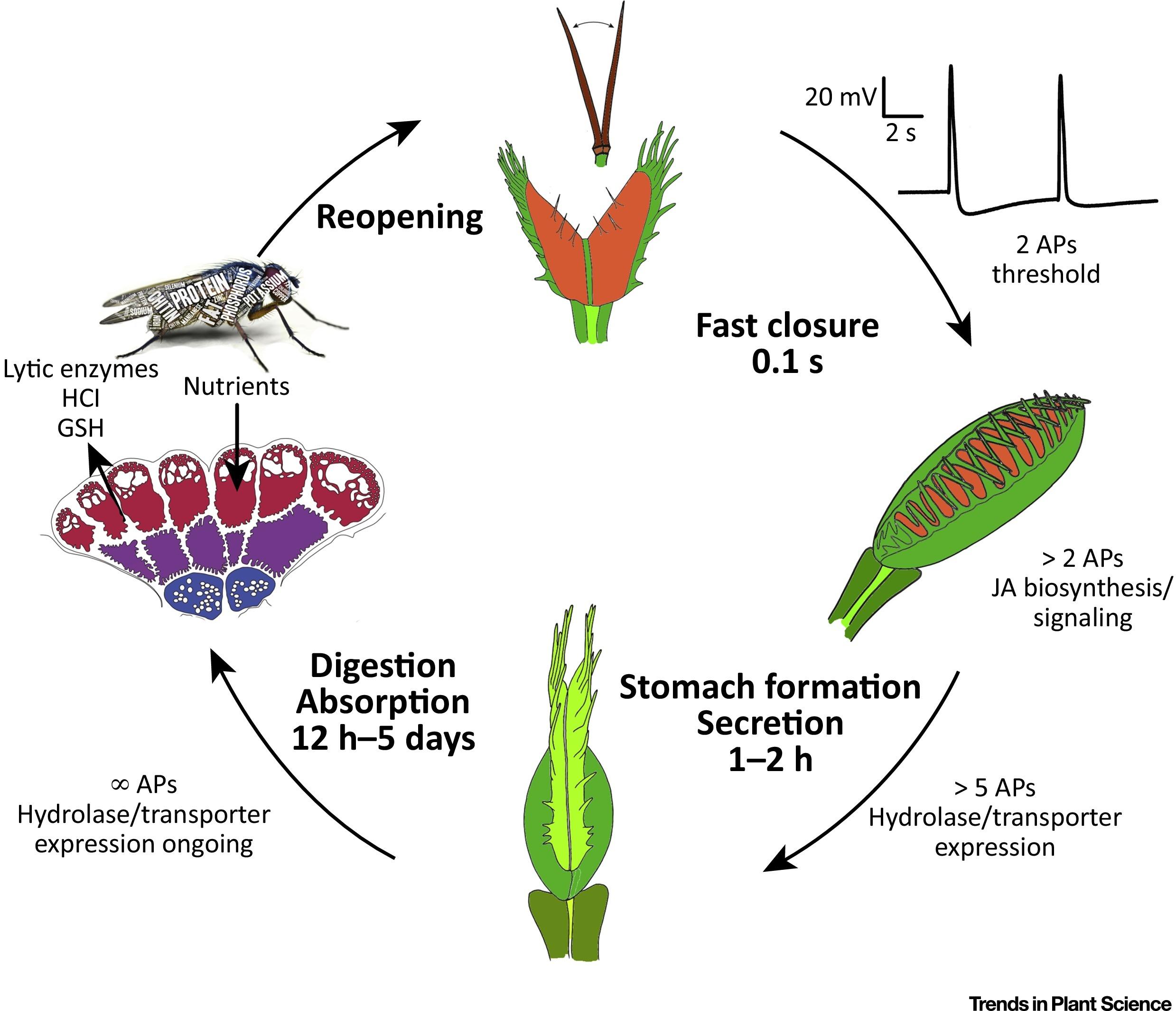 Venus Flytrap How An Excitable Carnivorous Plant Works