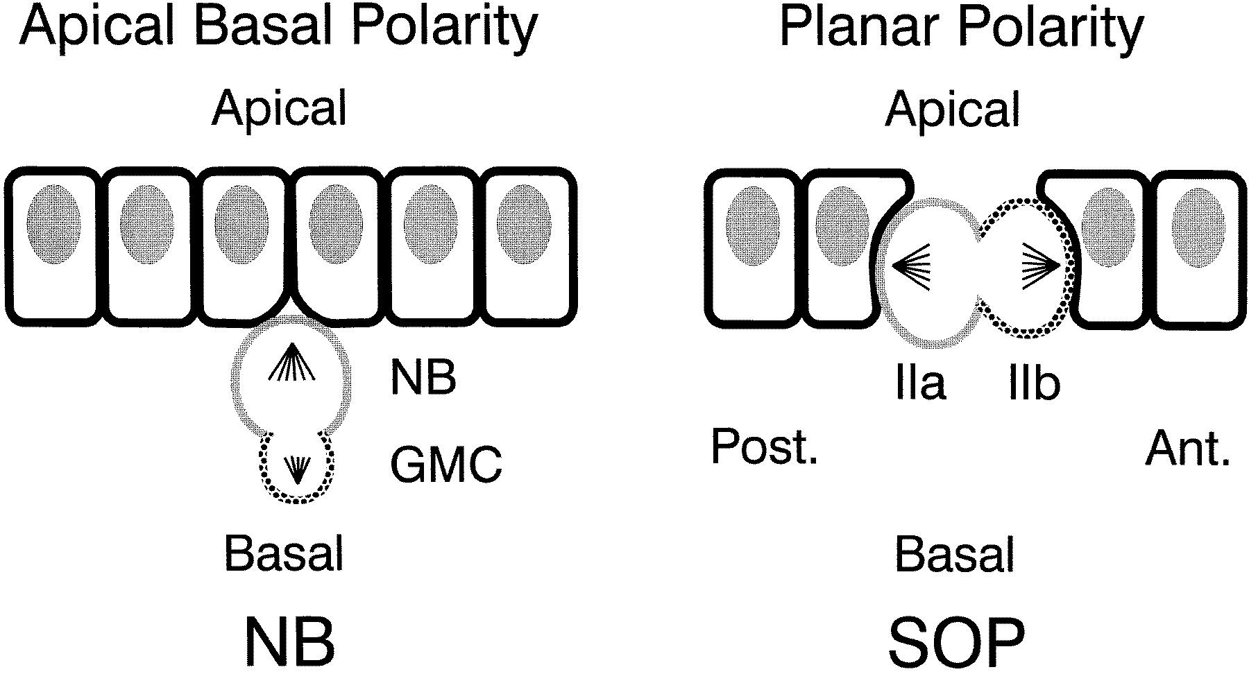 Polarity In Cell Division Cell