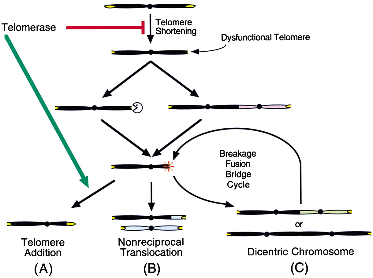 Telomere Dysfunction Increases Mutation Rate And Genomic