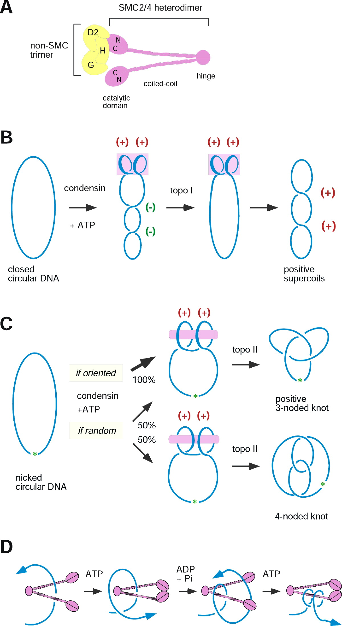 The Making Of The Mitotic Chromosome Modern Insights Into Classical Questions Molecular Cell