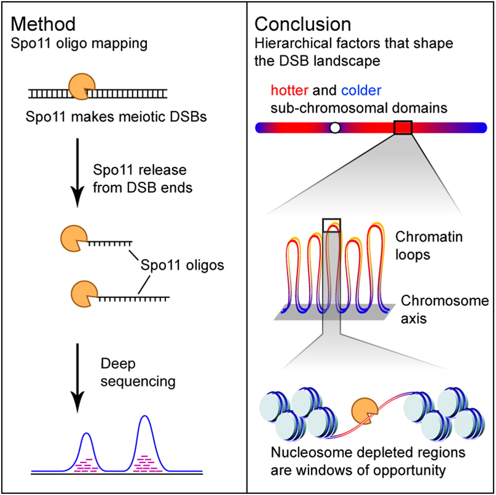 A Hierarchical Combination Of Factors Shapes The Genome Wide Topography Of Yeast Meiotic