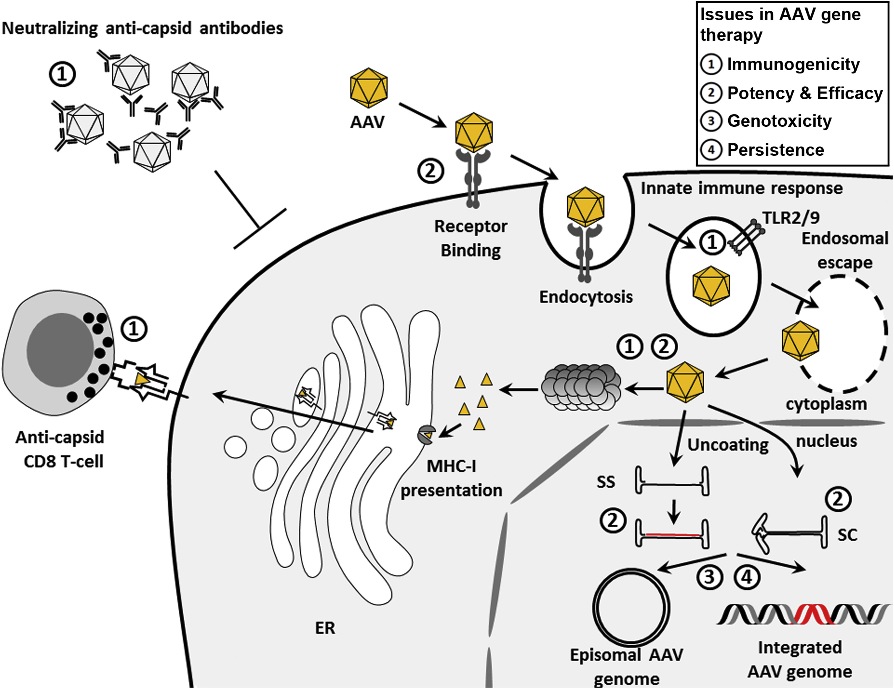 Emerging Issues In Aav Mediated In Vivo Gene Therapy