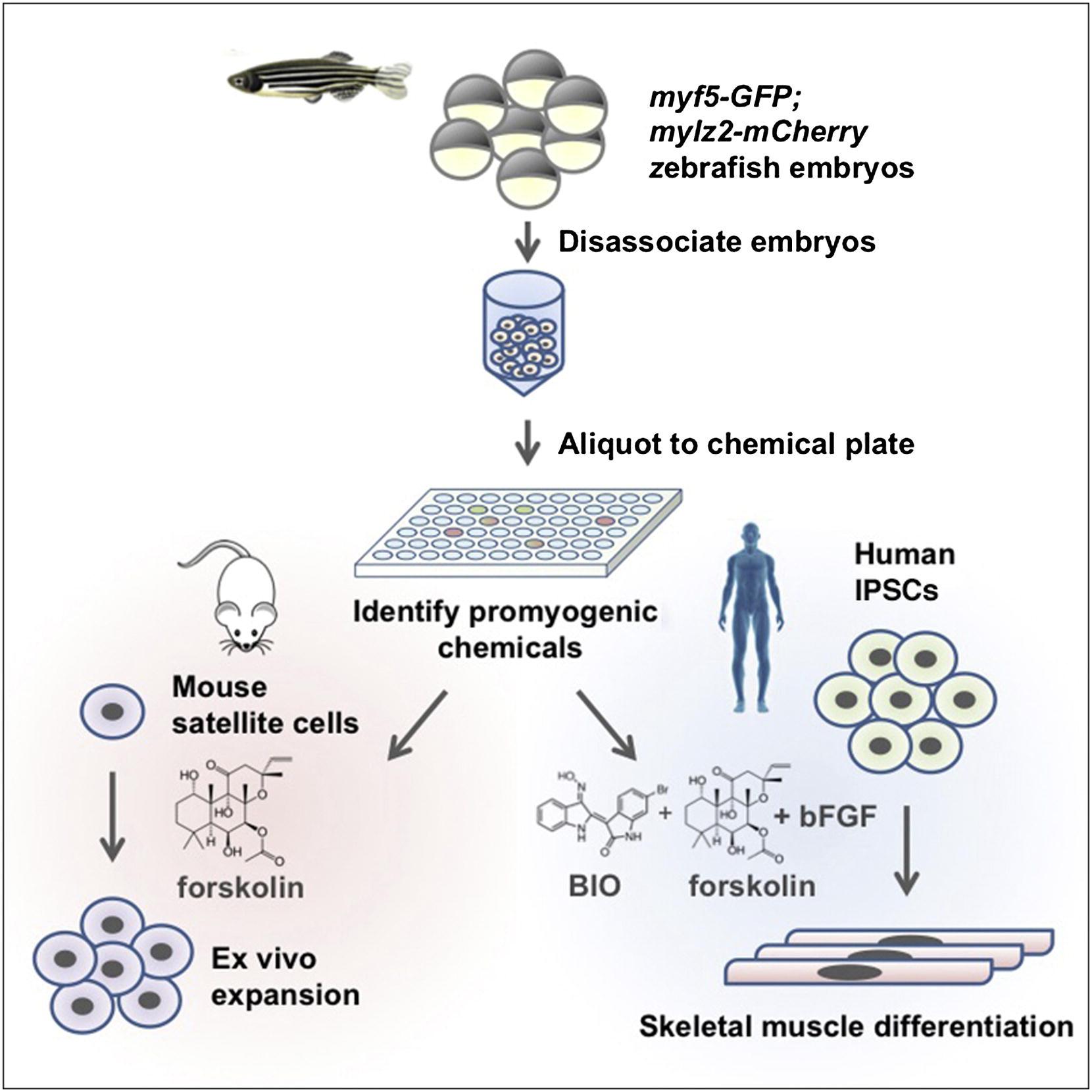 A Zebrafish Embryo Culture System Defines Factors That