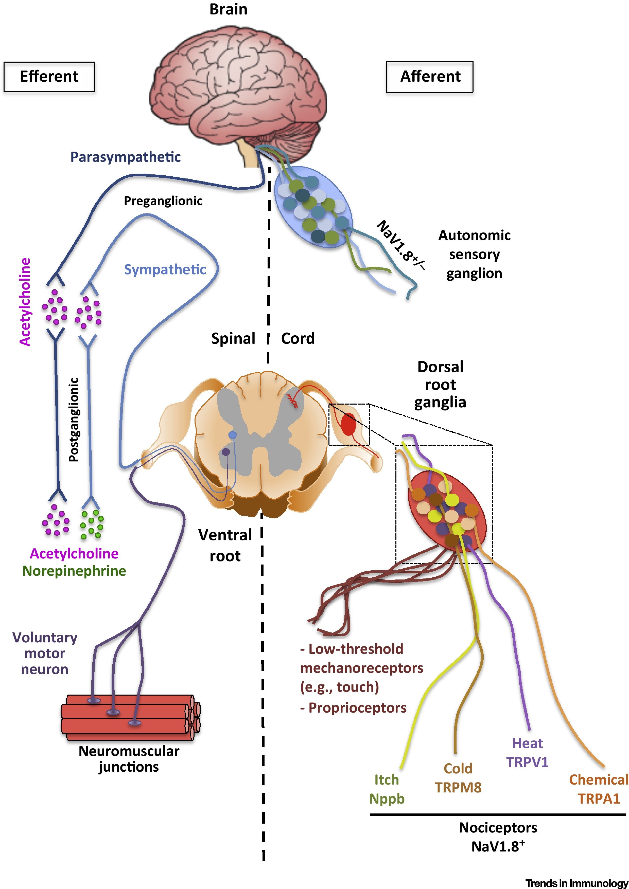 The Regulation Of Immunological Processes By Peripheral
