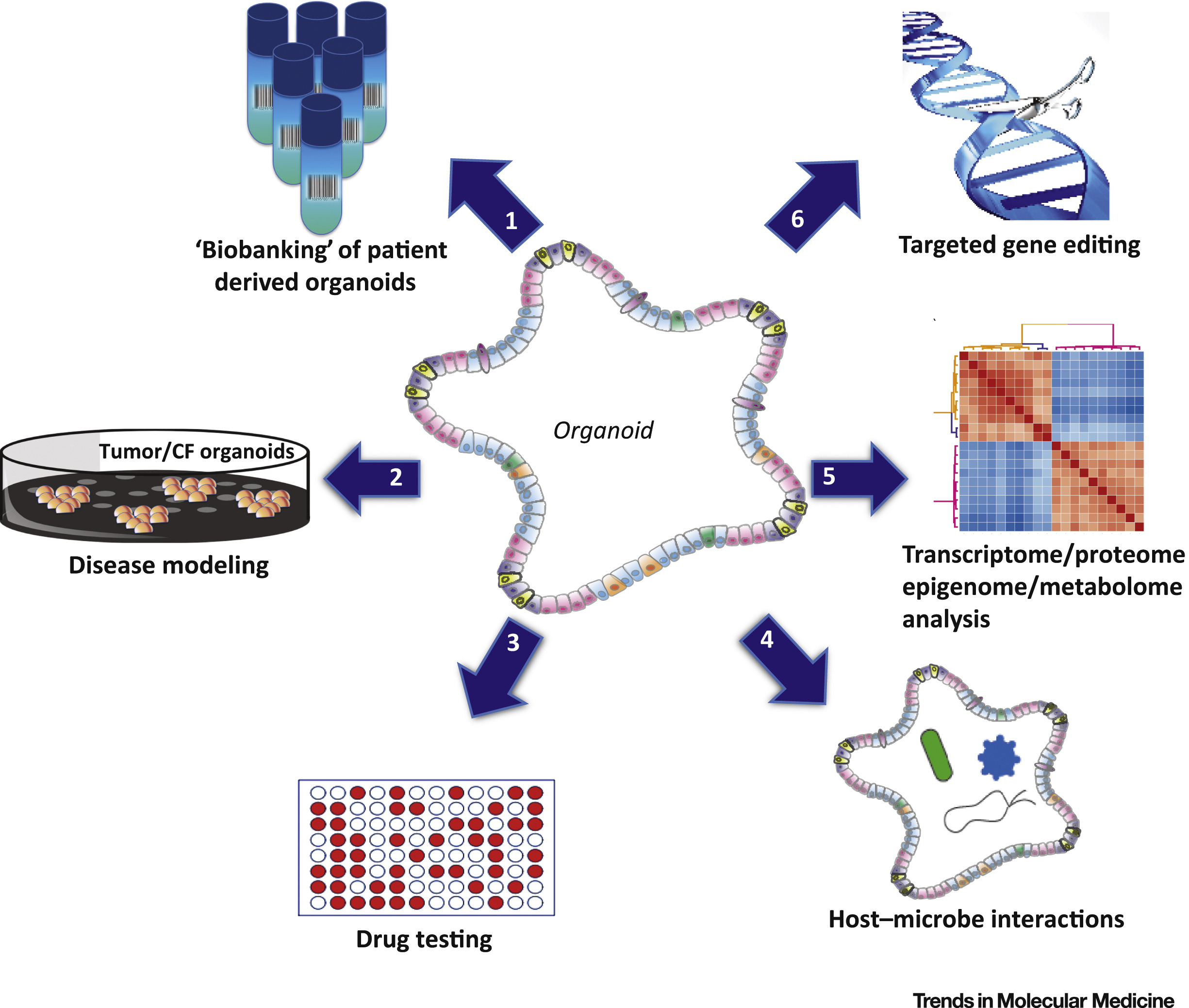 Disease Modeling In Stem Cell Derived 3d Organoid Systems Trends In Molecular Medicine