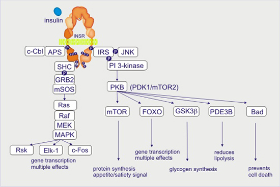 Activation Pi 3 Kinase Pathway