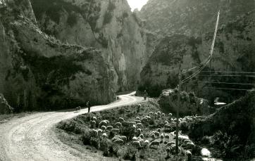 Camporrells, hacia 1960: pastor con rebaño en el congosto (postal sin autor, colección Juan Rovira)