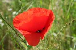 Glanzrapskäfer auf einer Klatschmohnblüte