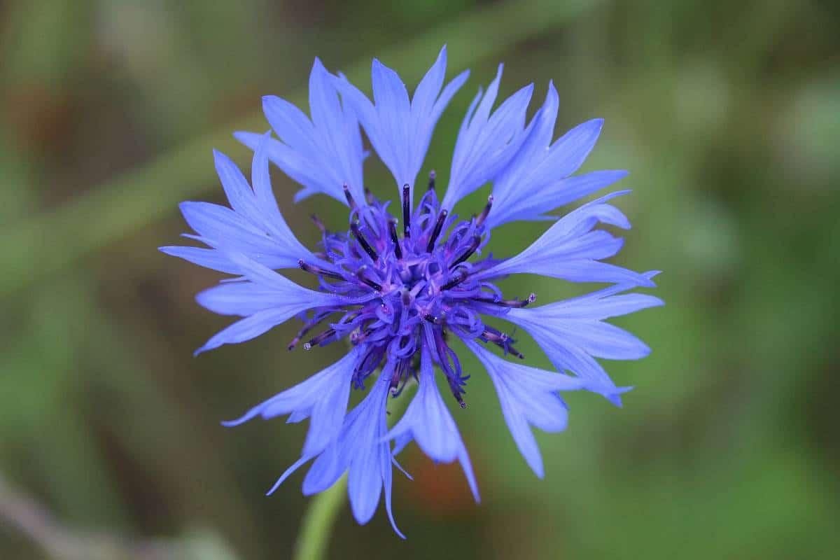 Die Kornblume ~ Ein altes Wundheilmittel