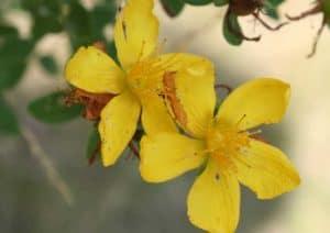 Johanniskraut als Färberpflanze