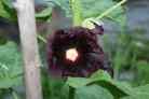 Schwarze Stockrose als Färberpflanze