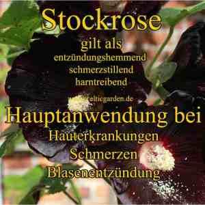 Kräutersteckbrief schwarze Stockrose