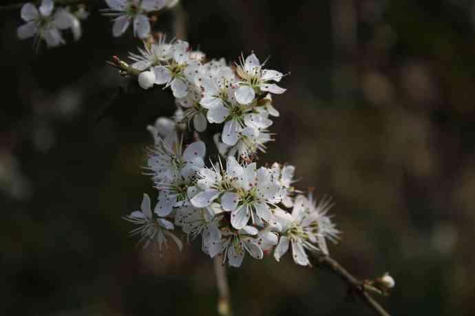 Schlehenblüten verwechseln mit Weissdornblüten