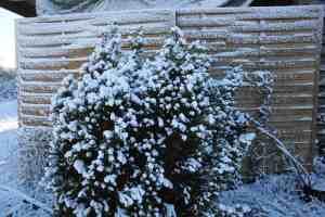 Eibe im Winter