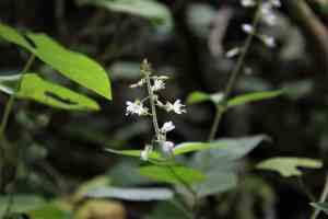 Hexenkraut Zauberpflanze