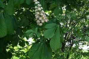 Rosskastanien Blüte