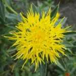 Färberpflanze Färberdistel