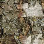 Färberpflanze Kirschbaum