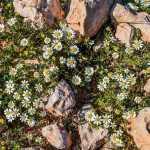 Römische Kamille als Färberpflanze