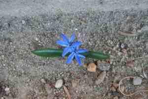 Frühlingsblüher Blaustern