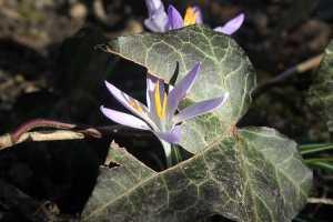 Frühlingsblüher Elfen-Krokus