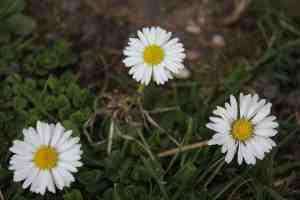 Frühlingsblüher Gänseblümchen