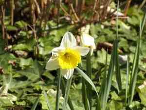 Frühlingsblüher Osterglocken