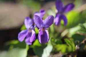 Frühlingsblüher Veilchen
