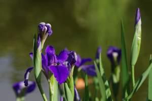 (Deutsche Schwertlilie/Iris germanica)