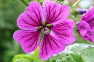 Teemalve zum Färben von Fliederblütengelee