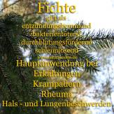 Steckbrief Fichte