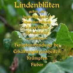 Steckbrief Lindenblüten